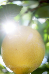 Lemon in sunshineの写真素材 [FYI03607809]