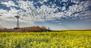 Altocumulus and crepuscular rays over rapeseed field forecasting storm, Hooker, Oklahoma, USの写真素材 [FYI03607829]