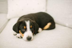 Animal portrait of puppy lying on sofa looking at cameraの写真素材 [FYI03607848]