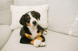 Animal portrait of puppy lying on sofa looking at cameraの写真素材 [FYI03607849]
