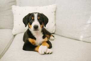 Animal portrait of puppy lying on sofa looking at cameraの写真素材 [FYI03607850]