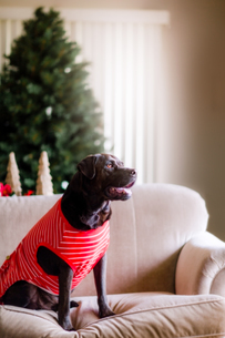 Pet dog in t-shirt on sofa, Christmas tree in backgroundの写真素材 [FYI03607903]