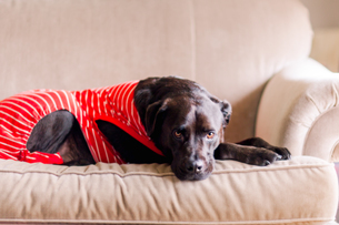 Pet dog in t-shirt on sofaの写真素材 [FYI03607904]