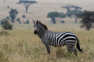 Plains zebra (Equus quagga), Seronera, Serengeti National Park, Tanzaniaの写真素材 [FYI03608004]