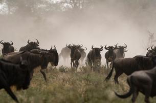 A herd of blue wildebeest (Connochaetes taurinus), Ndutu, Ngorongoro Conservation Area, Serengeti, Tの写真素材 [FYI03608024]
