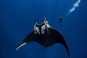 Giant oceanic manta ray, diver in background, Socorro, Baja California, Mexicoの写真素材 [FYI03608175]