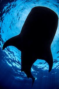 Whale sharkの写真素材 [FYI03608180]
