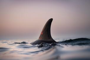 Fin of wild solitary Bottlenose Dolphin, Inishmore, Aran Islands, Irelandの写真素材 [FYI03608315]
