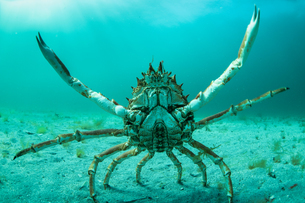 Spider crab in fighting pose, Inishmore, Aran Islands, Irelandの写真素材 [FYI03608322]
