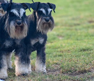 Pair of male and female Miniature Schnauzersの写真素材 [FYI03608646]