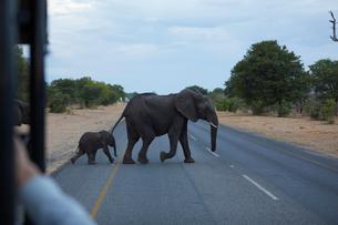 Baby and adult elephant crossing road, Kasane, North-West, Botswanaの写真素材 [FYI03608806]