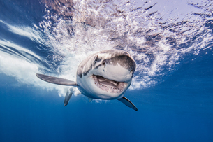 Great white shark, Guadalupe, Mexicoの写真素材 [FYI03608905]