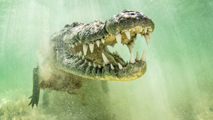 American saltwater crocodile with jaws open, Chinchorro Banks, Mexicoの写真素材 [FYI03608906]