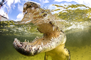 American saltwater crocodile with jaws open, Chinchorro Banks, Mexicoの写真素材 [FYI03608908]