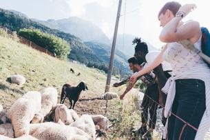 Young adult hiker friends looking at sheep in rural field, Primaluna, Trentino-Alto Adige, Italyの写真素材 [FYI03611278]