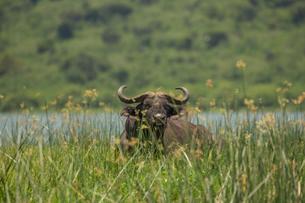 Buffalo (Syncerus caffer), Queen Elizabeth National Park, Ugandaの写真素材 [FYI03611447]