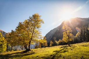 Sunlight through ancient maple trees, Karwendel region, Hinterriss, Tirol, Austriaの写真素材 [FYI03613006]