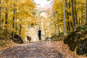 Woman jogging with dogs on leash in forestの写真素材 [FYI03613374]