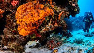 Caribbean lobster, Cozumel, Quintana Roo, Mexicoの写真素材 [FYI03613495]