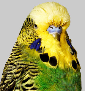 Budgerigar with yellow and green feathersの写真素材 [FYI03614010]
