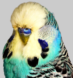 Budgerigar with yellow and blue feathersの写真素材 [FYI03614011]