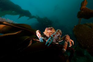 Close up of giant spider crab underwaterの写真素材 [FYI03615215]