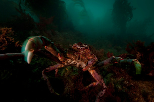 Close up of giant spider crab underwaterの写真素材 [FYI03615218]
