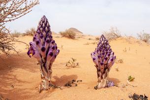 Violet Cistanche (Cistanche salsa) or Violet Broomrape parasitic plant flowering in desert, Wadi Rumの写真素材 [FYI03615572]