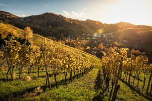 Vineyard near Sasbachwalden, black forest, Baden-Wurttemberg, Germanyの写真素材 [FYI03615767]