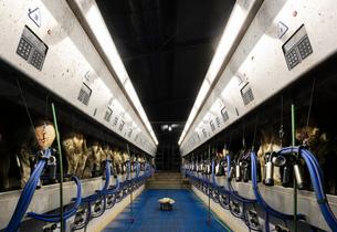 Cows being milked in modern milking machine, Wyns, Friesland, Netherlandsの写真素材 [FYI03615776]