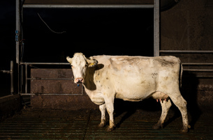 White cow in pen at night in modern dairy farm, Wyns, Friesland, Netherlandsの写真素材 [FYI03615782]