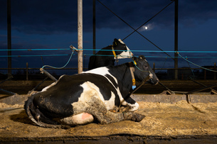 Cows on water beds in modern dairy farm, Wyns, Friesland, Netherlandsの写真素材 [FYI03615784]