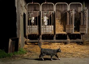 Tabby cat crossing caged cows on modern dairy farm, Wyns, Friesland, Netherlandsの写真素材 [FYI03615785]