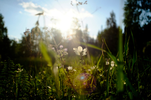 Field with backlit white wildflowers, close upの写真素材 [FYI03616283]