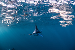 Striped marlin hunting mackerel and sardinesの写真素材 [FYI03616464]