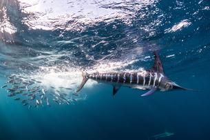 Striped marlin hunting mackerel and sardinesの写真素材 [FYI03616467]