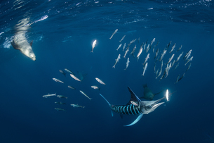 Striped marlin hunting mackerel and sardines, joined by sea lionsの写真素材 [FYI03616482]