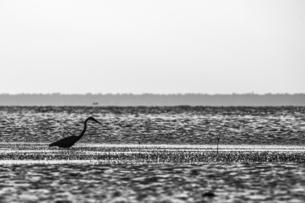 Grey Heron (Ardea cinerea), San Carlos, Baja California Sur, Mexicoの写真素材 [FYI03616496]