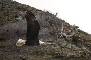 Mexican Bald Eagle taking off, San Carlos, Baja California Sur, Mexicoの写真素材 [FYI03616504]