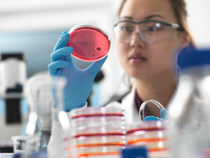 Scientist examining microbiological cultures in petri dishes in laboratoryの写真素材 [FYI03618096]