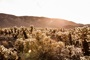 Backlit cacti and distant mountains, Joshua Tree, California, USAの写真素材 [FYI03618329]