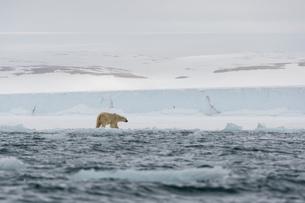 Polar bear (Ursus maritimus at waters edge on  polar ice cap, Austfonna Nordaustlandet, Svalbard, Noの写真素材 [FYI03619036]