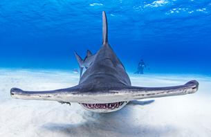Underwater view of great hammerhead shark swimming over seabed, Alice Town, Bimini, Bahamasの写真素材 [FYI03619516]