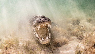 American Saltwater Crocodile above sandy seabed on the atoll of Chinchorro Banks, low angle view, Xcの写真素材 [FYI03619524]
