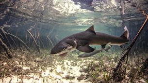 Underwater view of baby lemon shark swimming amongst mangroves, Alice Town, Bimini, Bahamasの写真素材 [FYI03619531]