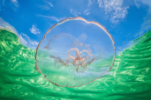 Moon jellyfish harbouring baby fish for protection against predatorsの写真素材 [FYI03619584]