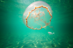 Moon jellyfish harbouring baby fish for protection against predatorsの写真素材 [FYI03619585]