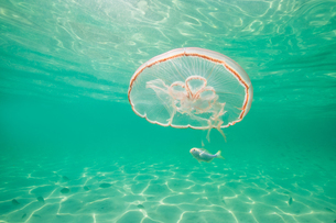 Moon jellyfish harbouring baby fish for protection against predatorsの写真素材 [FYI03619589]
