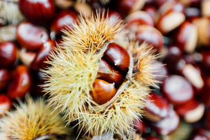 Chestnuts, some in prickly casingの写真素材 [FYI03619840]