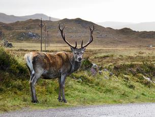 A highland deer looking over its shoulder from roadside, portrait, Achnasheen, Scottish Highlands, Sの写真素材 [FYI03620110]